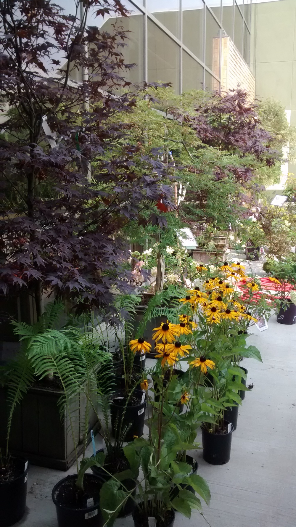 Japanese Maples and Brown Eyed Susans