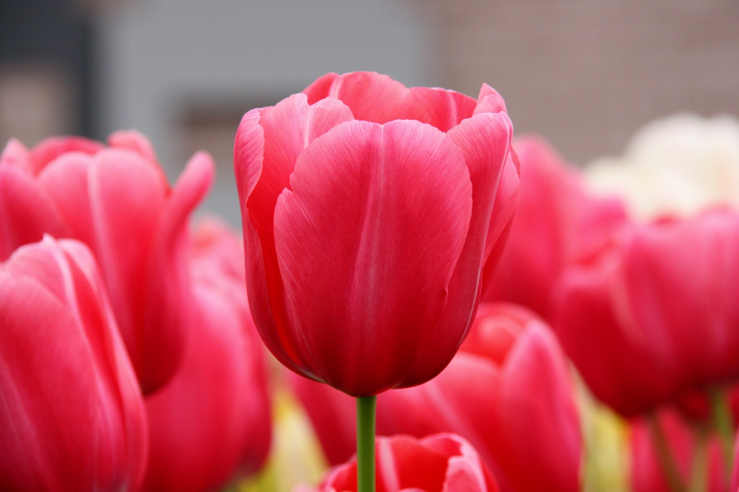 Growing Bulbs In Alberta And Picking The Right Bulbs For Your Garden