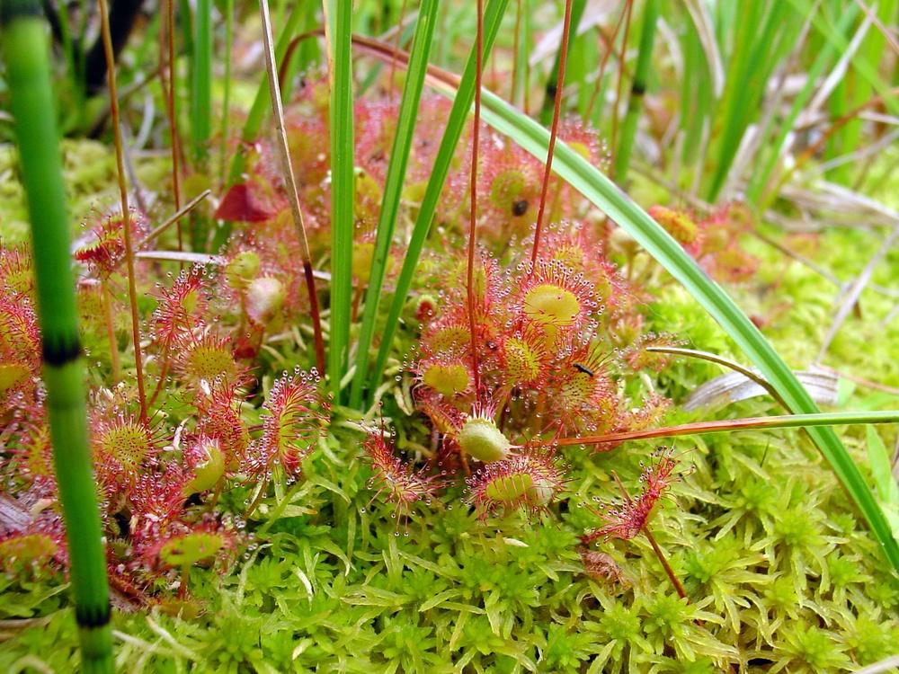 Drosera_rotundifolia_habitat.jpg