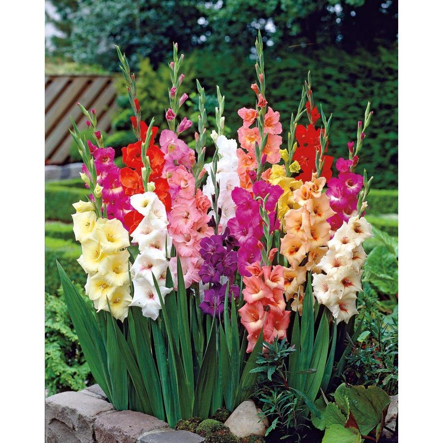 Gladiolus gladioli Holes Greenhouses
