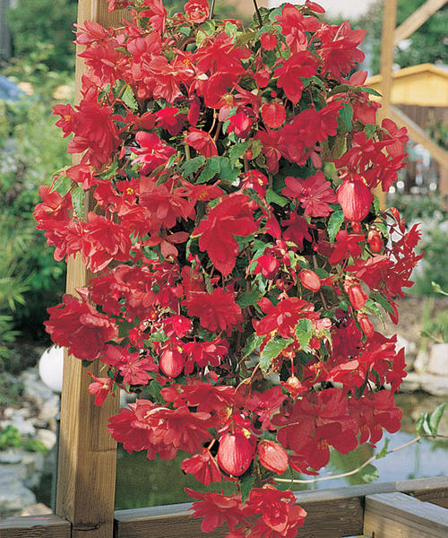 79175d7f8f93f The Time to Plant Begonias is Now! — Hole's Greenhouses