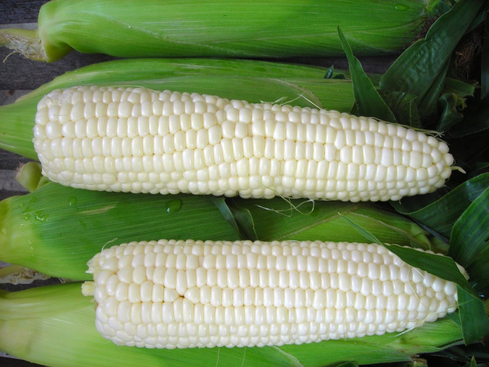 white-corn-sugar-pearl-seeds-edmonton-stalbert-yeg