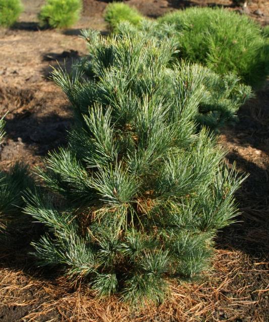 pinus-cembra-westerstede-tree-edmonton