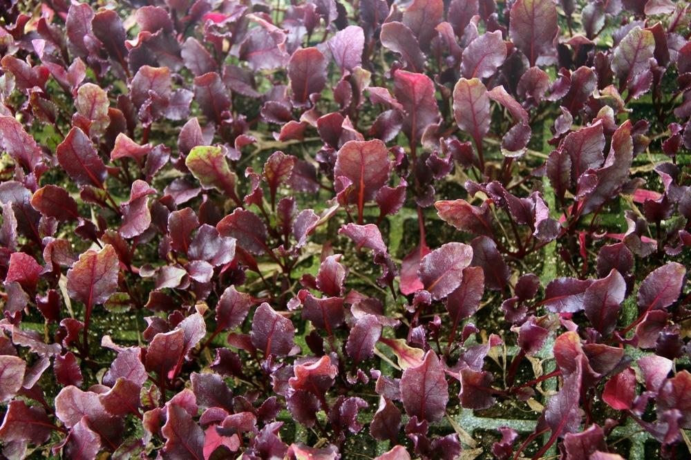 bulls-blood-beet-seeds-edmonton-alberta
