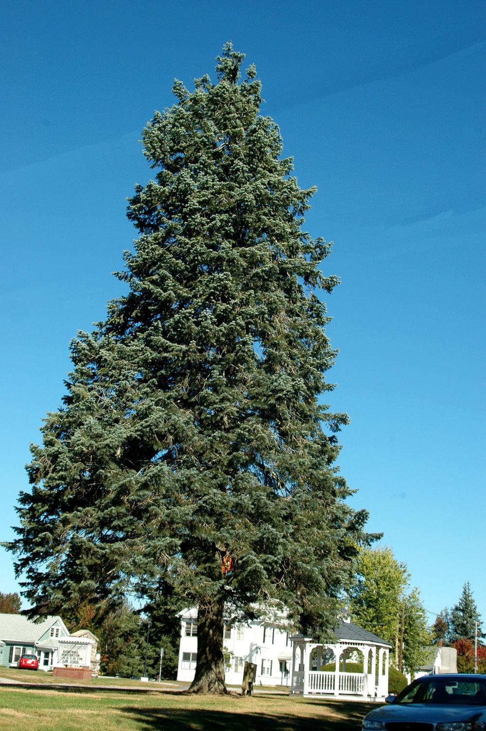 spruce-tree-edmonton-alberta-stalbert