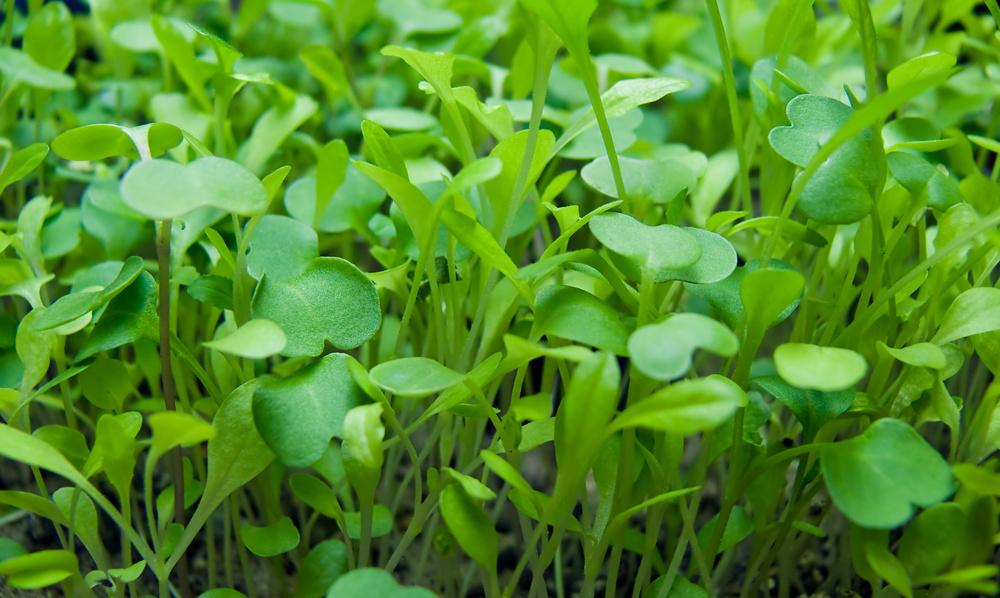 microgreens-edmonton-stalbert-yeg-holes