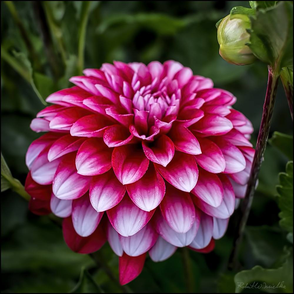 A Dahlia By Any Other Name Holes Greenhouses