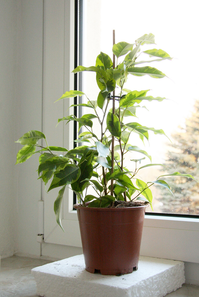 Attractive Peace Lily