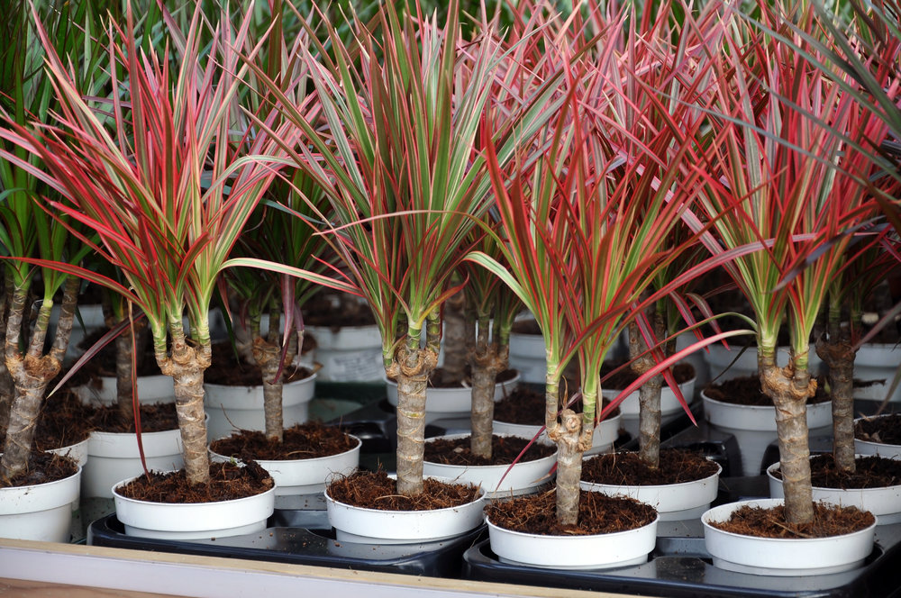 Hole's Houseplant Of The Week! — Hole's Greenhouses on red and green ground cover, red and green ornamental grass, red and green leaf plant,