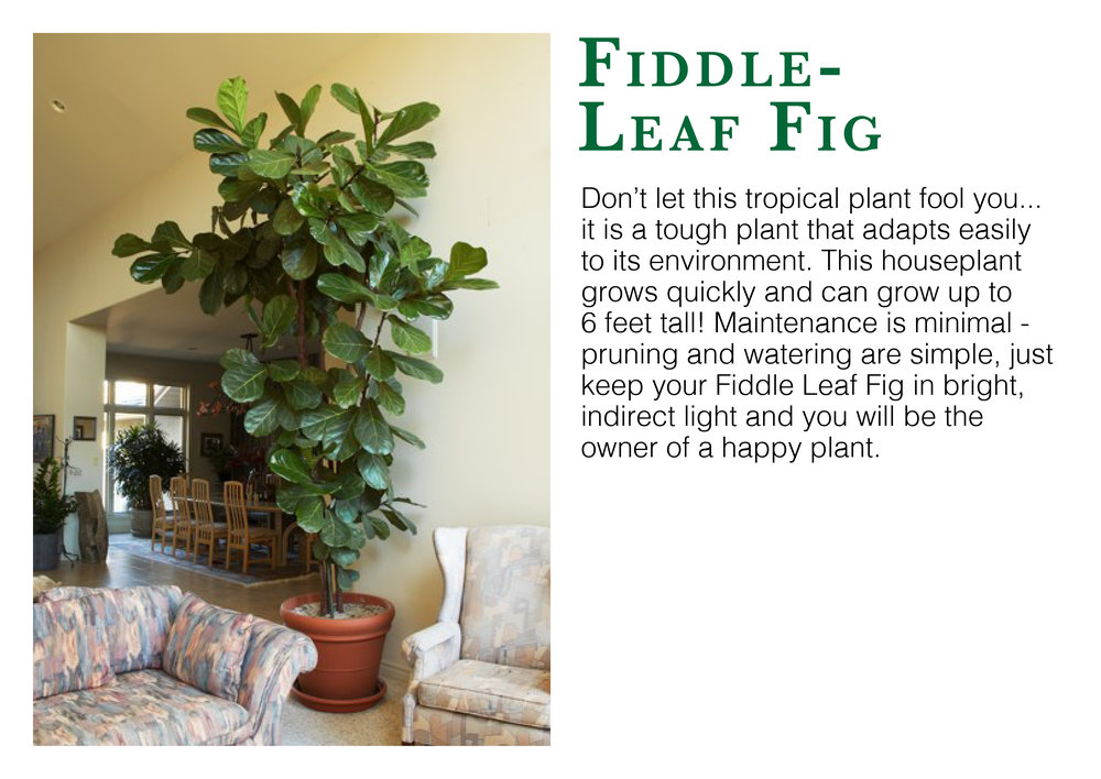 fiddleleaf fig edmonton st albert