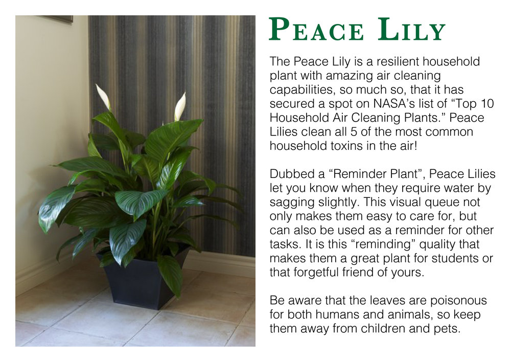 peace lily edmonton st albert
