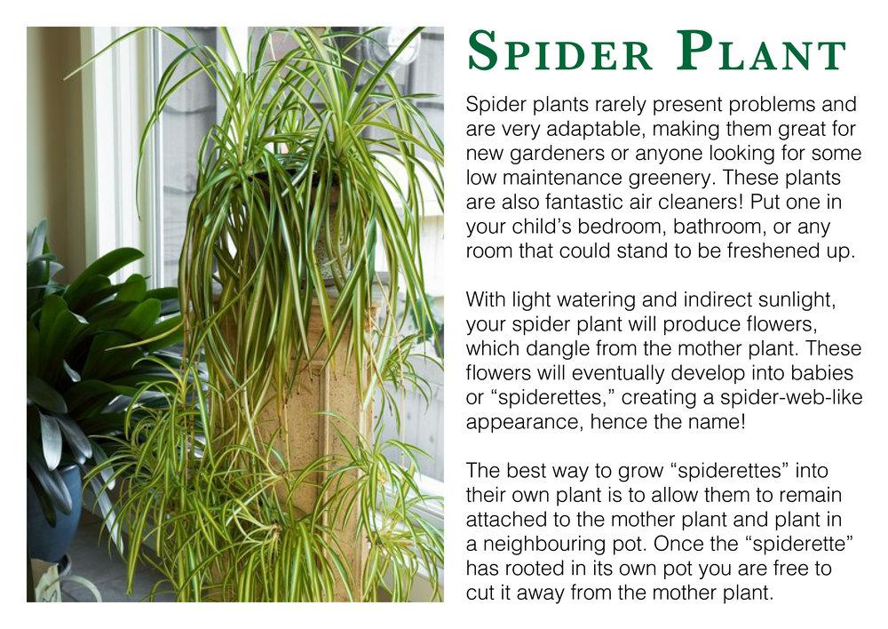 spider plant edmonton st albert
