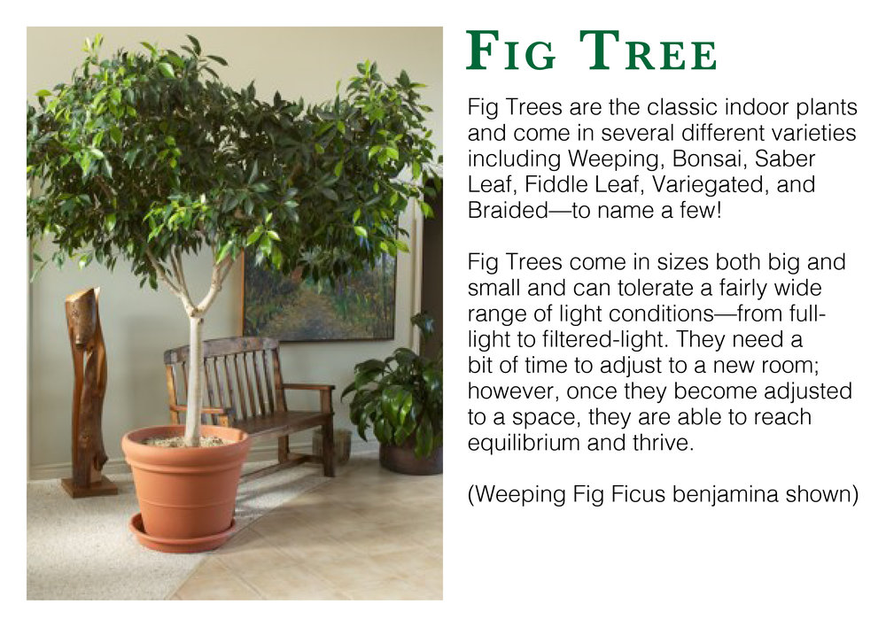 fig tree edmonton st albert