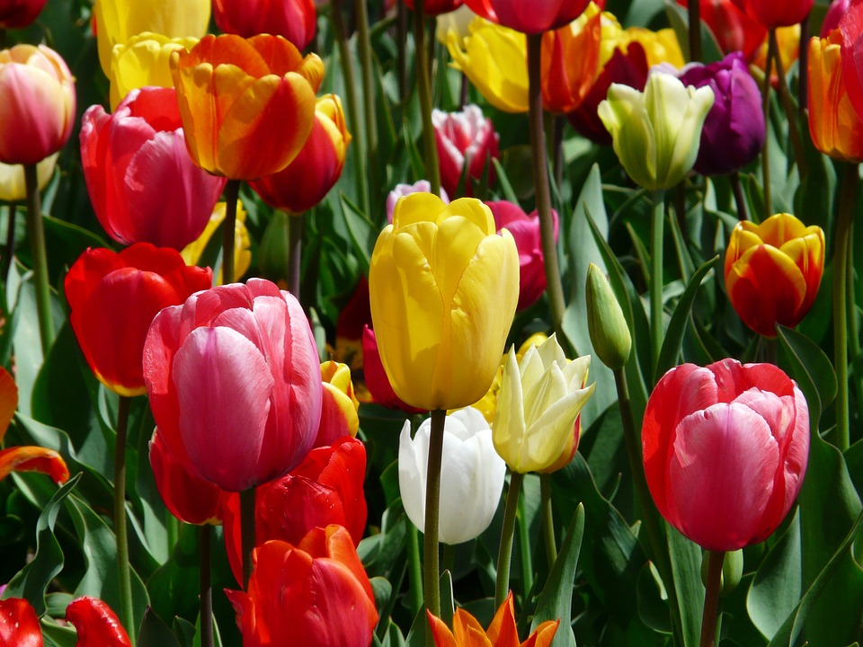 tulips-47400_960_720.jpg