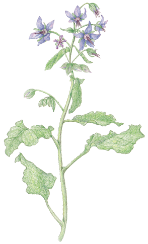 borage.png