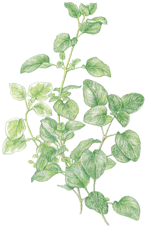 marjorum_oregano.png