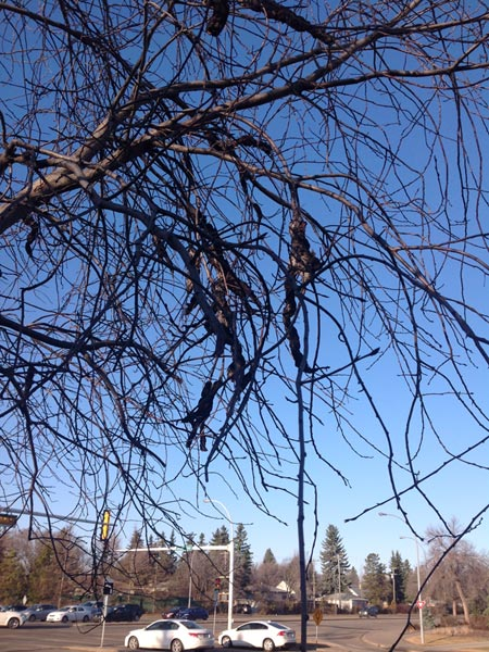 Tree heavily infected with black knot in Edmonton, Alberta