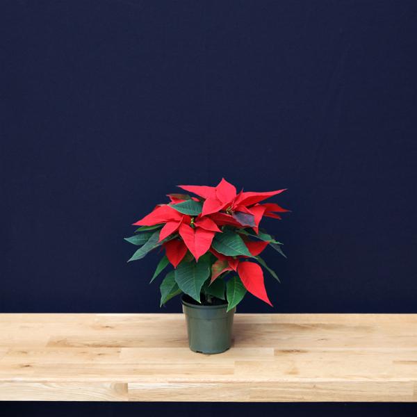 poinsettia 11 cm – plain