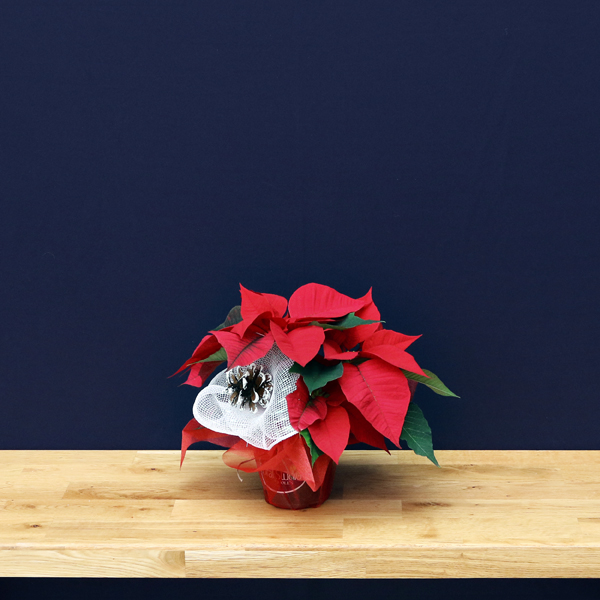 poinsettia 11 cm – decorated  (by order only)
