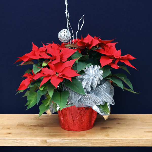 poinsettia 20 cm – decorated  (by order only)