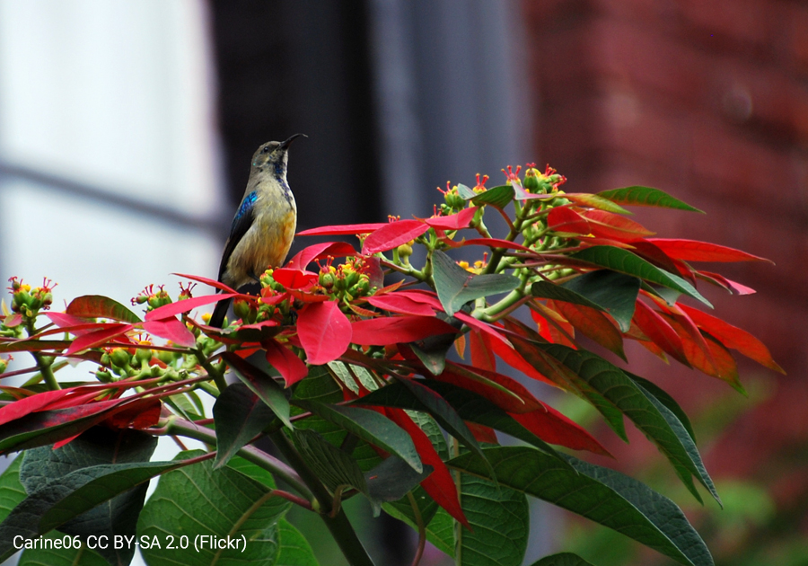 A White-bellied Sunbird (a relative of hummingbirds) perches on a wild poinsettia