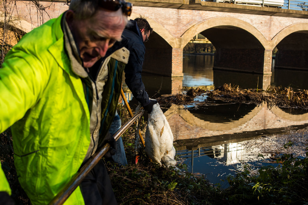 Swan Rescuer - A story about Cyril Bennis, Ex Mayor and volunteer Swan Keeper