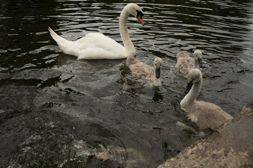 Mother Swan teaches Signets where food is