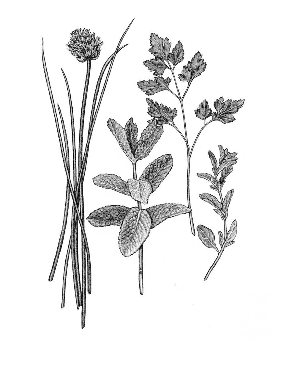ss.herbs, two.jpg