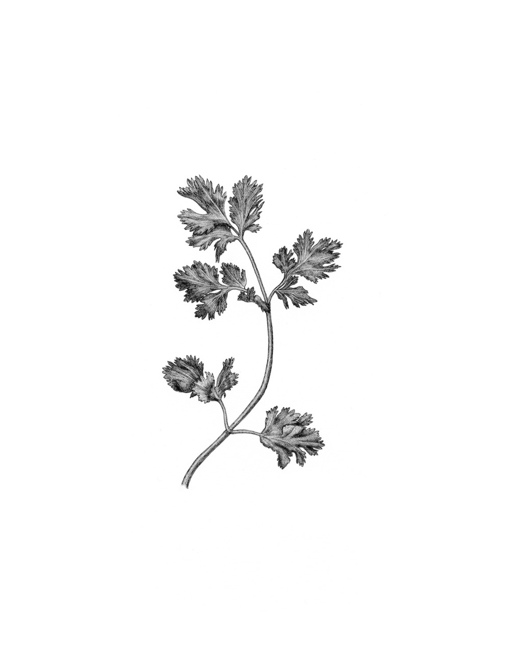 ss.cilantro.jpg