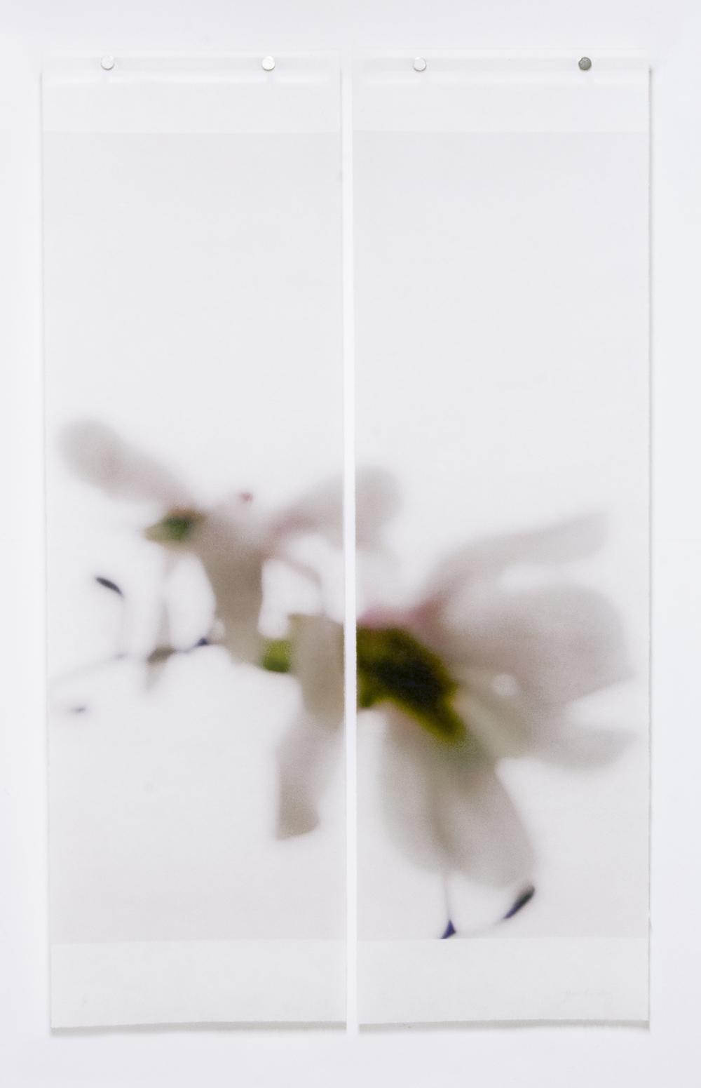 Star Magnolia, No.9