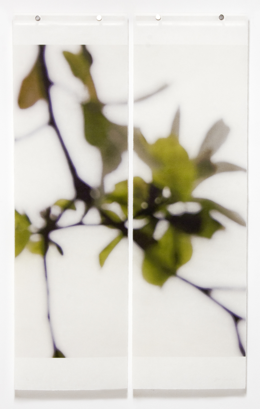 Star Magnolia, Greening, No.2