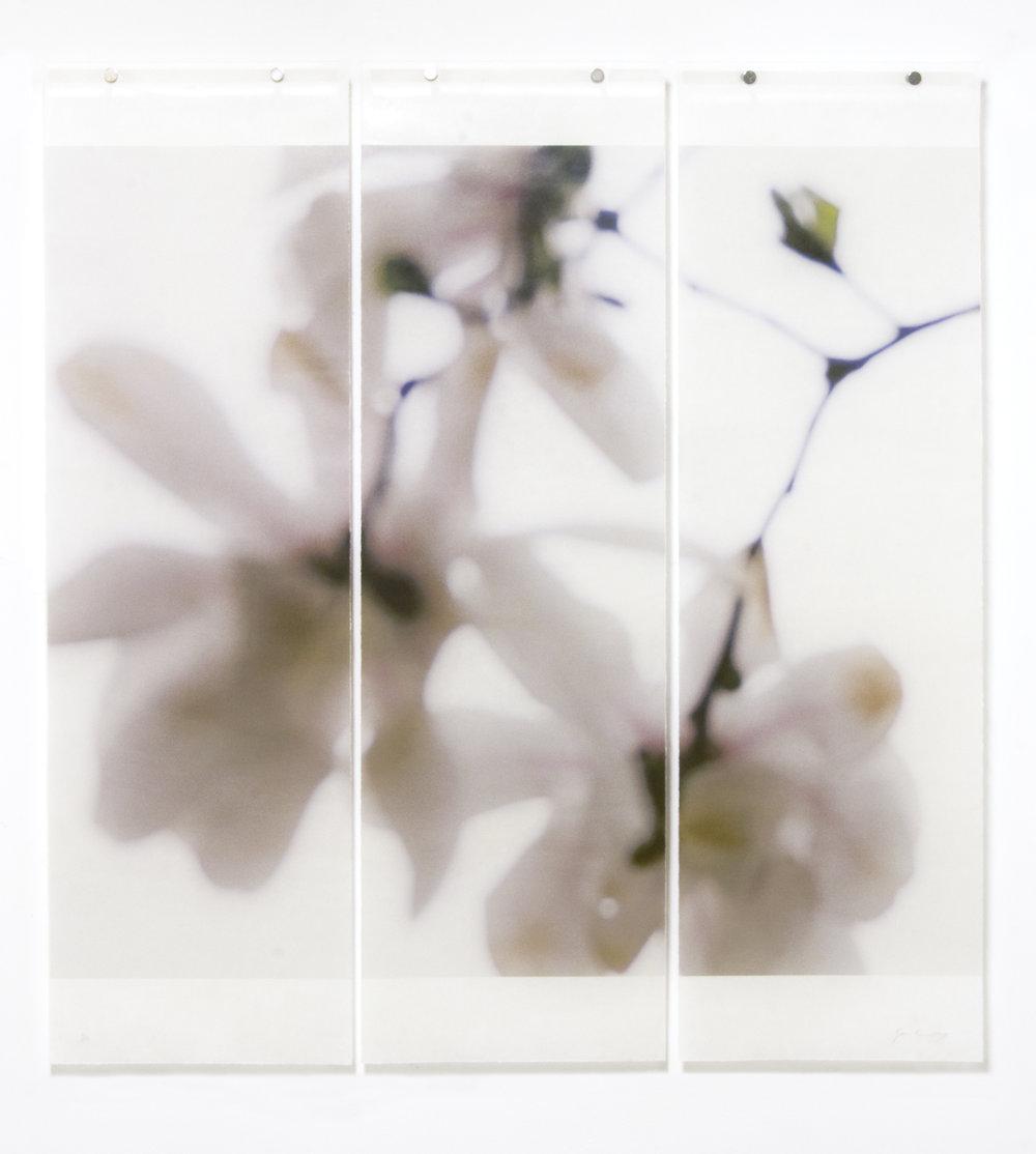 Star Magnolia, No.6