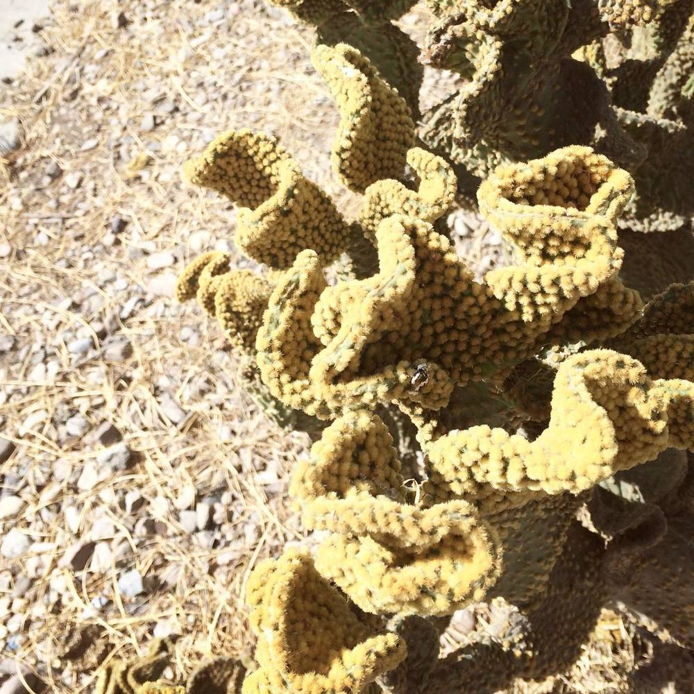 ripply cacti in Tucson #arizona #cacti #acgontheroad #texture