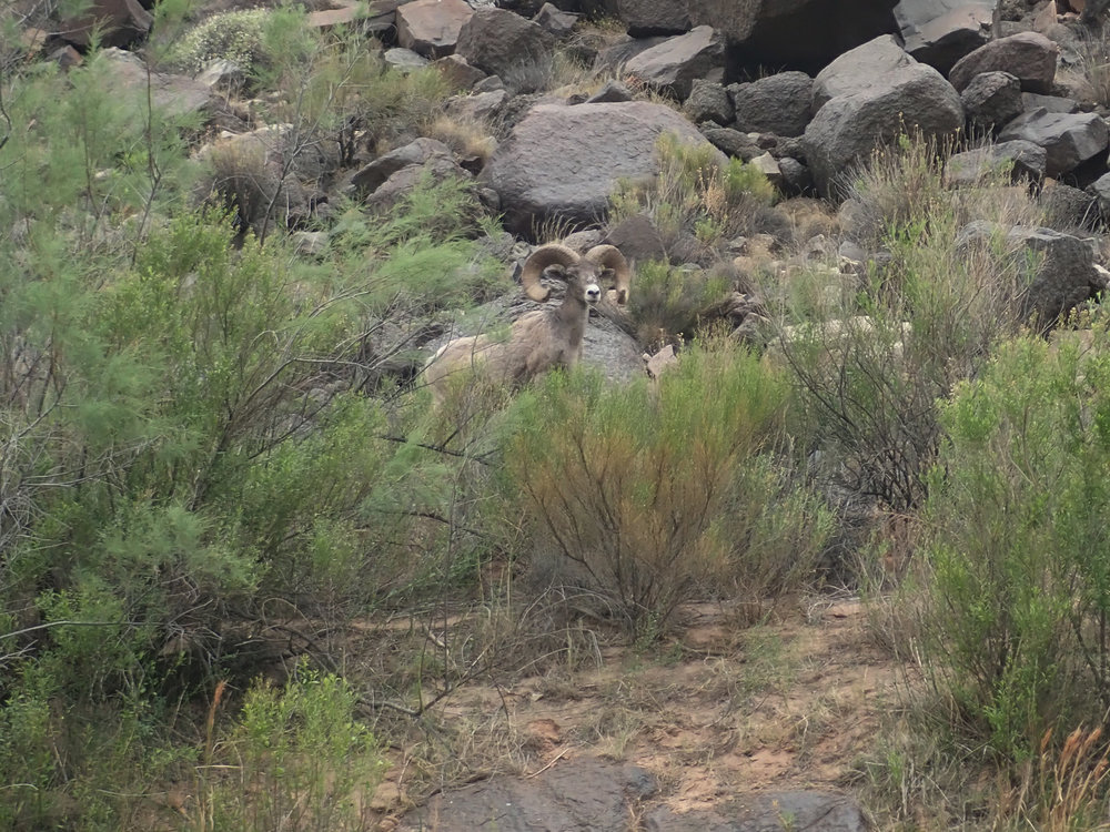Everyone got excited when we'd spot a Big Horn Sheep