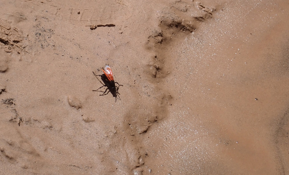 "This 3"" flying creature is a Tarantula Hawk Wasp. Nasty, nasty"