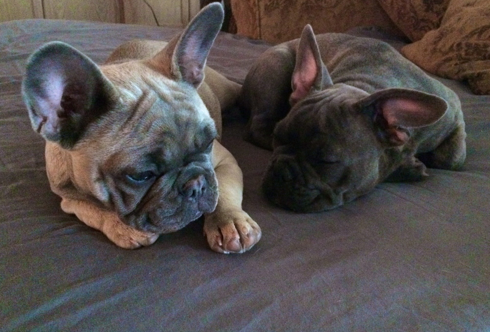 Cross Timbers Frenchies - Aspen and Beaux