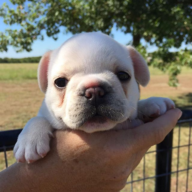 Ivy Rose!  #frenchiesofinstagram