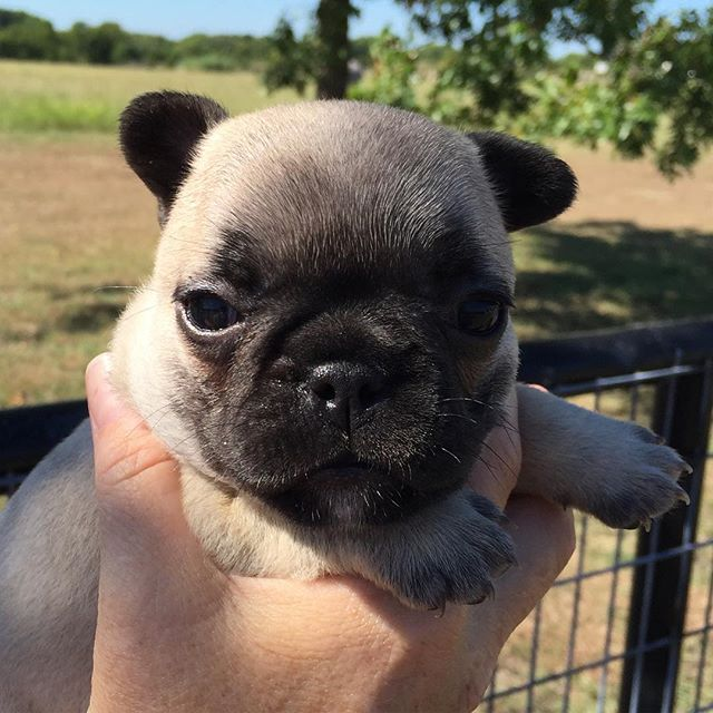Pippen!  #frenchiesofinstagram