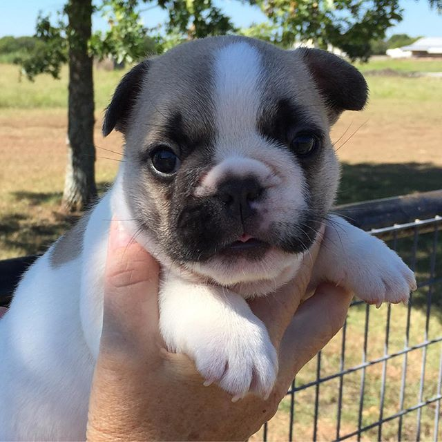 Sully!  #frenchiesofinstagram