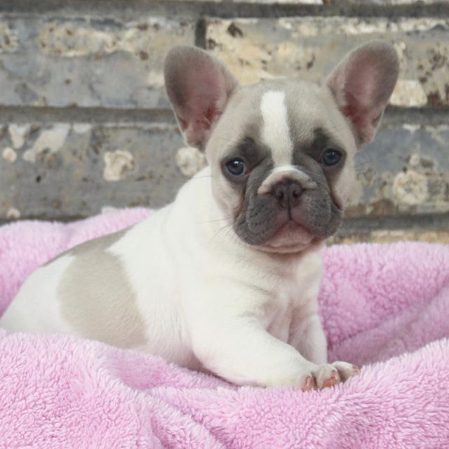 This Lilac Fawn Pied Female is available!  Also carries Cream and she is a sweetheart. #frenchiesofinstagram #lilacfrenchie  #socute