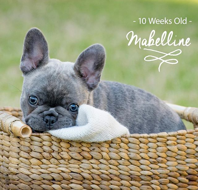 Sara - thank you for sharing this cute pic of Mabelline!  She is so beautiful! #frenchbulldogsofinstagram