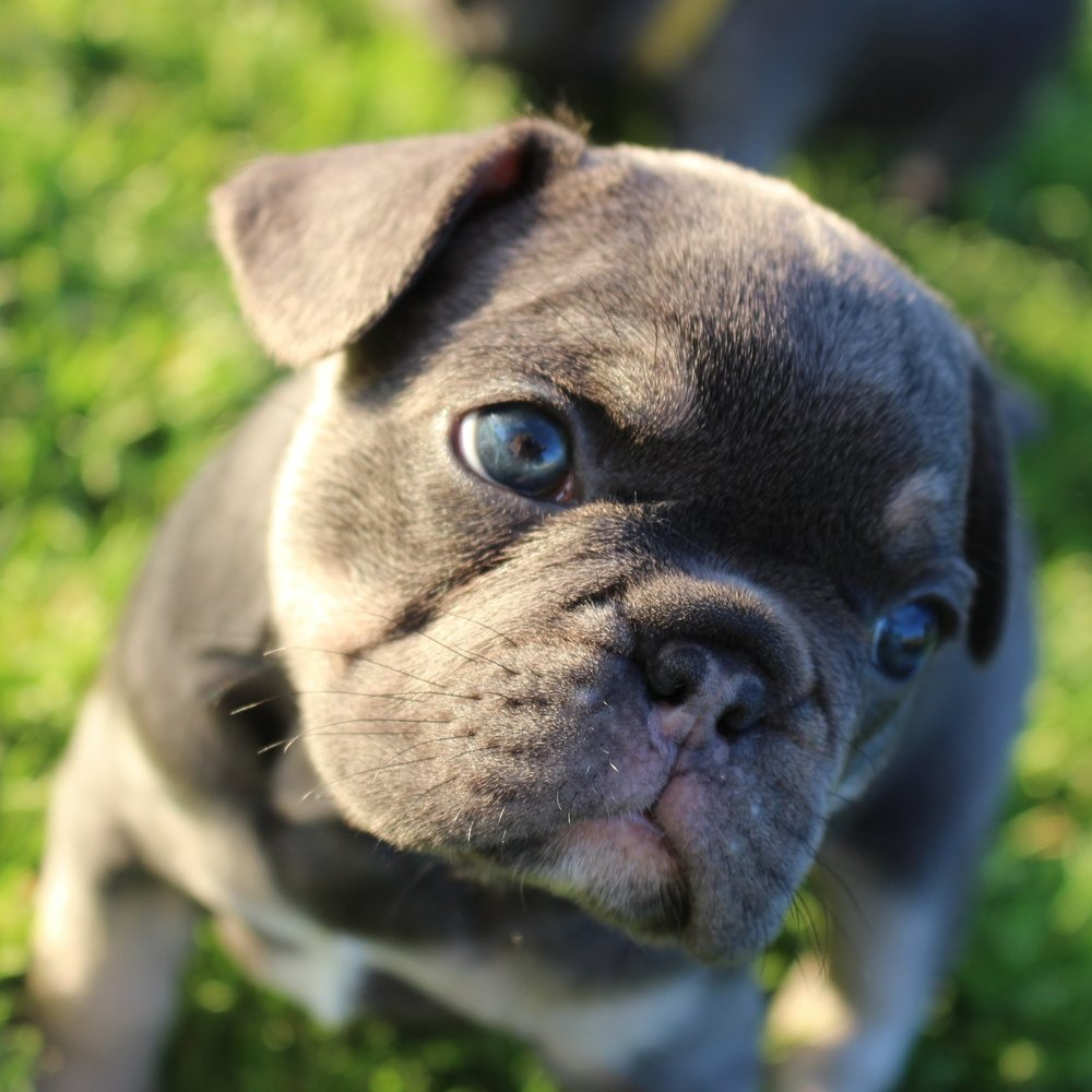 blue and tan french bulldog puppy