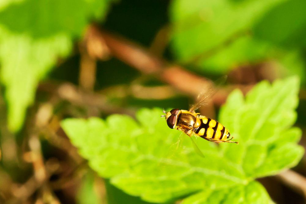 Hover fly in flight
