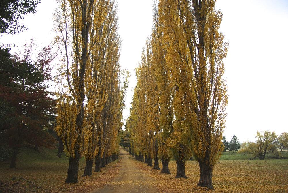 Poplars in Autumn 13.jpg