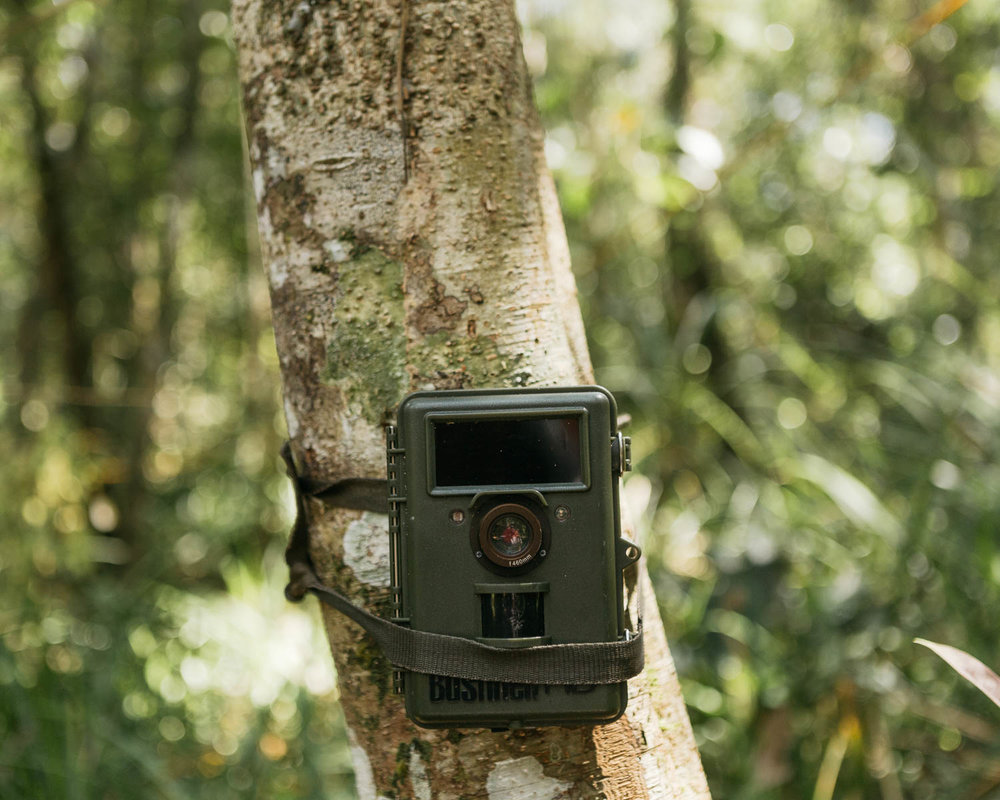 A camera trap is installed inside the forest in Hantipan. It has succesfully recorded many species such orangutan, clouded leopard, bear, and etc.