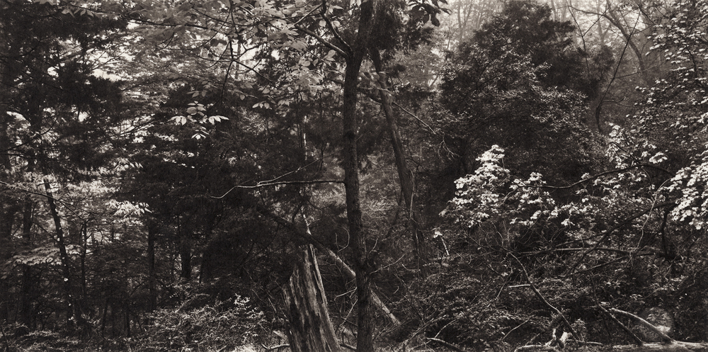 Ambler|Meditations-Caferty-dogwoods.jpg