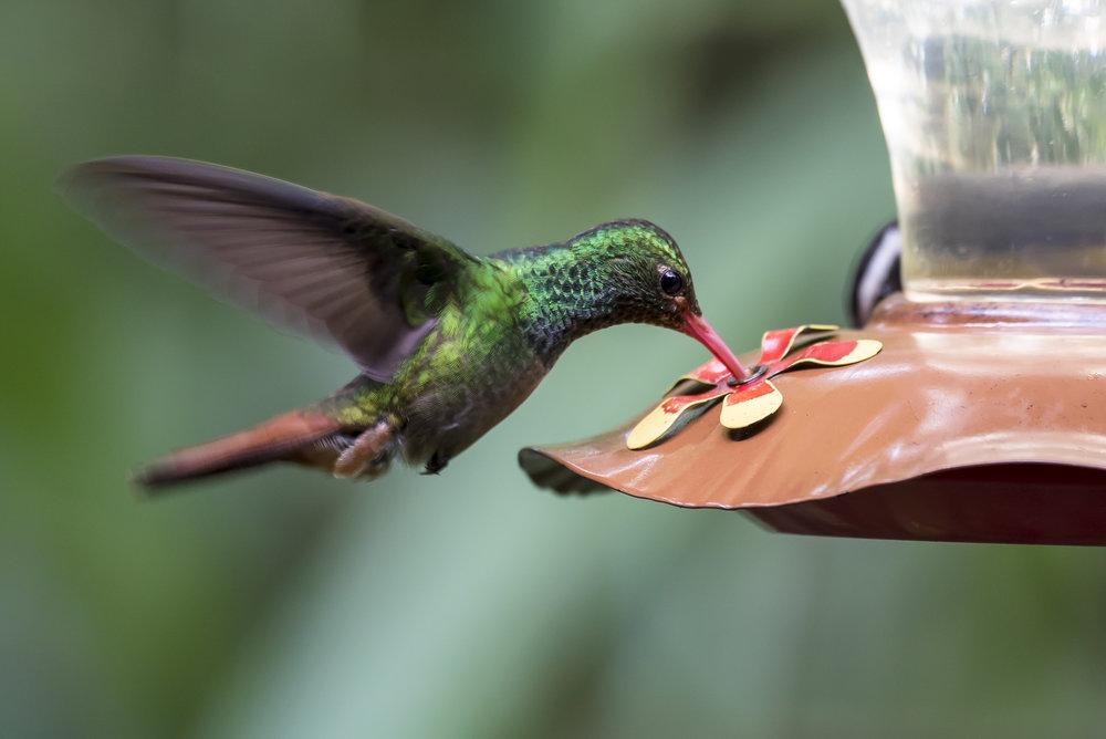 Rufous-Tailled Hummingbird