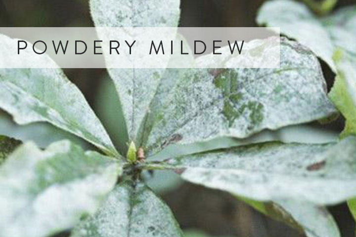 04-powdery-mildew.jpg