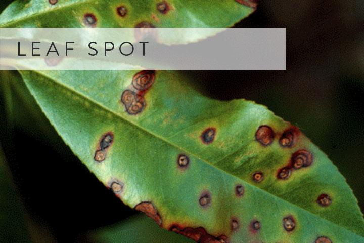 06-leaf-spot.jpg