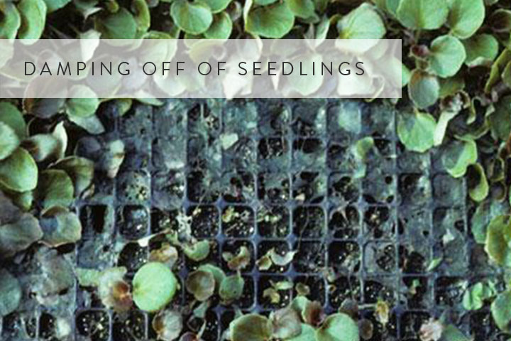 07-damping-off-of-seedlings.jpg